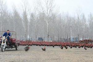 Lùa đàn gà 70.000 con chạy bộ hàng ngày để chắc thịt