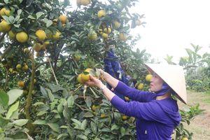 Giải pháp giúp phát triển bền vững cây có múi ở vùng Bắc Trung Bộ