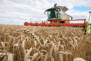 Giá các loại nông sản chủ chốt có xu hướng giảm trong tuần này