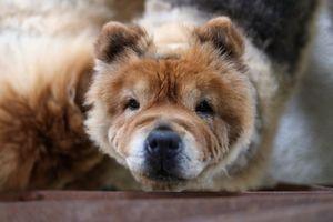 Người Hàn Quốc tìm mua thuốc tẩy giun cho chó để trị ung thư
