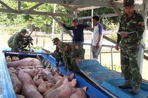 Gia tăng buôn lậu lợn từ Campuchia vào Việt Nam