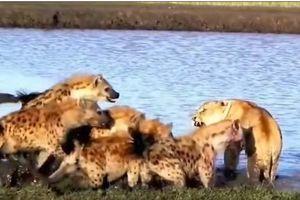 CLIP: Những trận chiến đẫm máu giữa sư tử và linh cẩu