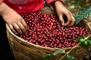 Giá cà phê hôm nay 20/11: Vì sao giá cà phê đồng loạt giảm mạnh 500 đồng/kg?