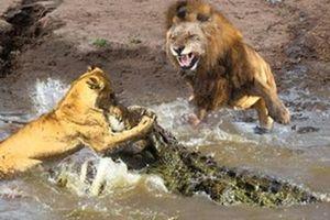 Sư tử tấn công cá sấu để bảo vệ đồng loại