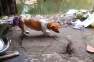 CLIP: Chuột nổi điên 'tẩn' luôn cả chó và mèo