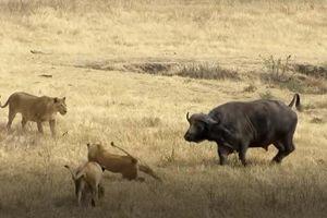 CLIP: Trâu rừng nổi điên tấn công sư tử và cái kết bất ngờ