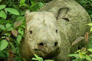 Tê giác Sumatra đã tuyệt chủng ở Malaysia