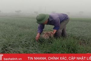 Nông dân Hà Tĩnh tất bật vào mùa thu hoạch hành