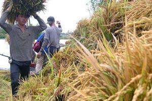 Lận đận thương hiệu gạo Việt