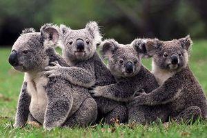 Gấu koala có nguy cơ bị tuyệt chủng do cháy rừng tại Australia