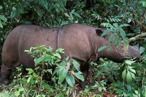 Tê giác Sumatra ở Malaysia tuyệt chủng