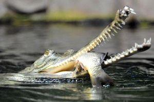 Rợn người nhìn cá sấu mõm dài nhai nát cá chép