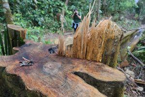 Cận cảnh hàng loạt cây cổ thụ ở rừng phòng hộ Sông Tranh bị 'xẻ thịt'