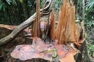 Rừng Quảng Nam tiếp tục bị tàn phá tan hoang