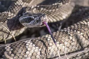 Phát hiện sốc về loài rắn từng có chân