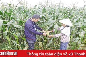 Liên kết sản xuất theo chuỗi giá trị tạo đầu ra ổn định cho người nông dân