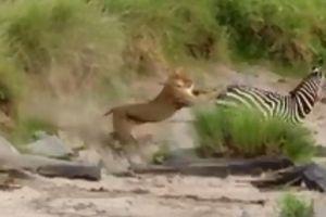 Ngựa vằn thoát hiểm, tránh trở thành bữa tối của sư tử trong gang tấc