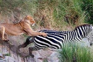 Ngựa vằn đá chân sau, sư tử khép ngày đen đủi