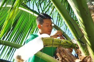 'Mát xa' dừa lấy mật