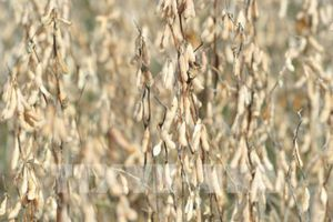 Giá nông sản Mỹ giao dịch ngược chiều nhau