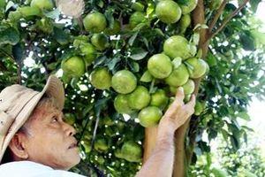 Nhà vườn đồng bằng sông Cửu Long chuẩn bị vụ trái cây Tết