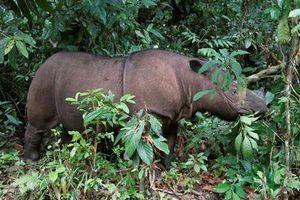Tê giác Sumatra chính thức tuyệt chủng tại Malaysia