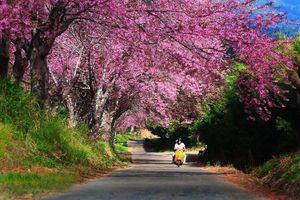 4 địa điểm ngắm hoa anh đào tại Thái Lan