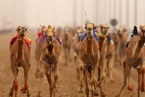 Bên trong bệnh viện 10 triệu USD dành cho lạc đà ở Dubai