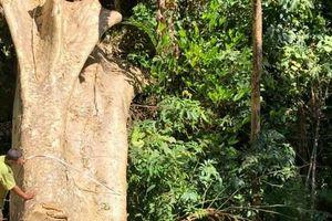 Một vụ phá rừng, sở báo 3,5m3, hạt nói 28m3, công an xác định 41m3 !