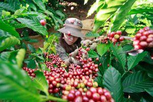 Giá cà phê hôm nay 5/12: Vì sao bất ngờ giảm mạnh 900 đồng/kg?
