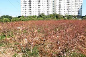 Hàng nghìn gốc đào chết khô trước Tết