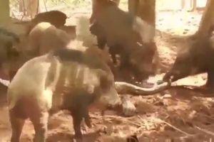 Liều lĩnh xâm phạm lãnh thổ lợn rừng, trăn gấm bị con mồi xé xác