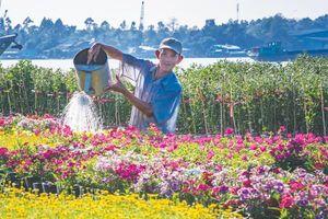 Nông dân An Giang tất bật vào vụ hoa Tết Canh Tý 2020