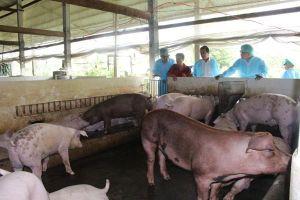 Cần Thơ: Thiệt hại gần 100 tỉ đồng vì dịch tả lợn châu Phi