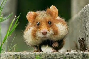 Chuột hamster ham ăn mắc kẹt vào cổ chai