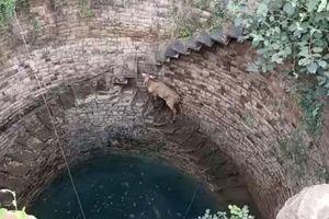 Giải cứu linh dương mắc kẹt dưới giếng sâu 20 m