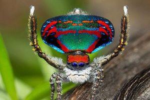 Những loài nhện đỏm dáng, thích mặc đẹp, khiêu vũ tán gái