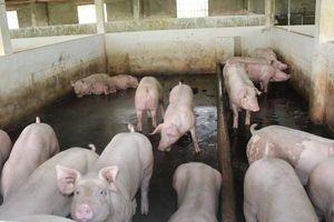 Cần Thơ chi gần trăm tỷ hỗ trợ thiệt hại dịch tả lợn châu Phi