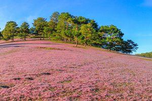 Khám phá đồi cỏ hồng đẹp như cổ tích ở Đà Lạt