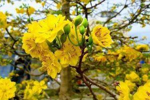 Xuân nở hoa