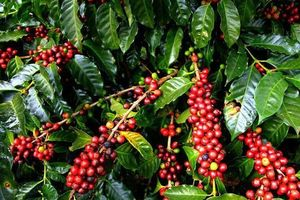 Giá cà phê hôm nay 12/12: Bất ngờ giảm mạnh 500 đồng/kg trên toàn Tây Nguyên