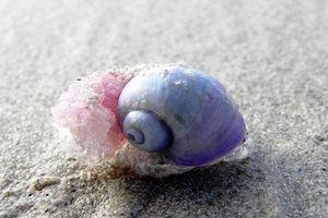 Loài động vật kỳ lạ ốc sên tím dùng nước bọt làm... nhà
