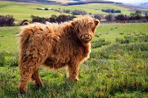 Khám phá bất ngờ giống bò có 'mái tóc' dài như lãng tử