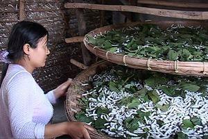 Quảng Nam: Khôi phục nghề trồng dâu nuôi tằm