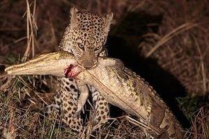 Báo non ranh mãnh, cá sấu nhận cái kết đau đớn