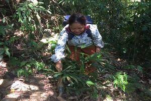 Hàng vạn người dân Huế được hỗ trợ trồng mây, ba kích