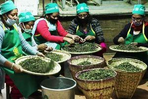 Loại trà thần bí nhất thế giới một cân giá bằng cả lượng vàng