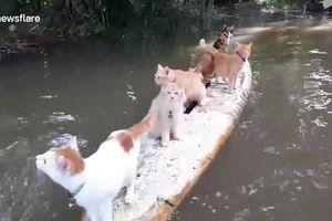 Những chú mèo 'lướt sóng' chứng minh mình không sợ nước