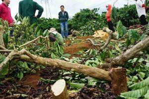 Chính quyền nói gì khi cưỡng chế vườn cà phê chín đỏ?