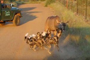 Tàn khốc cảnh chó hoang xẻ thịt linh dương trên đường
